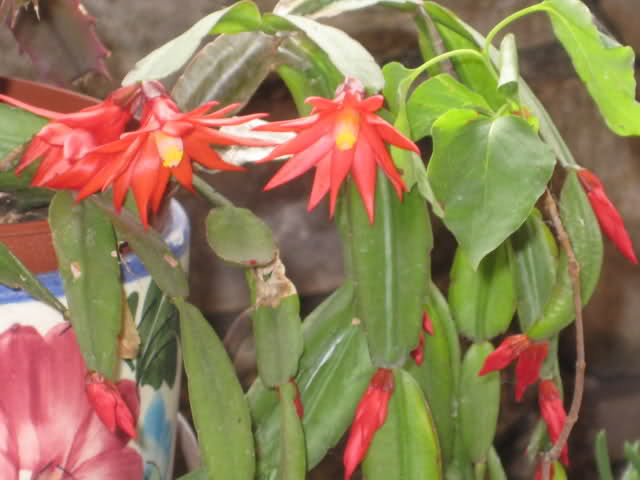 Cactus de Pascua, Cactus de Navidad, Pluma Sta Teresa y similares..... 14decug
