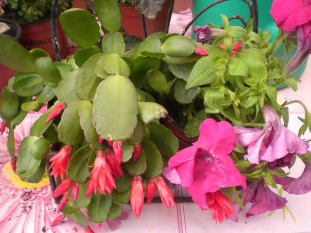 Cactus de Pascua, Cactus de Navidad, Pluma Sta Teresa y similares..... 2bscbp