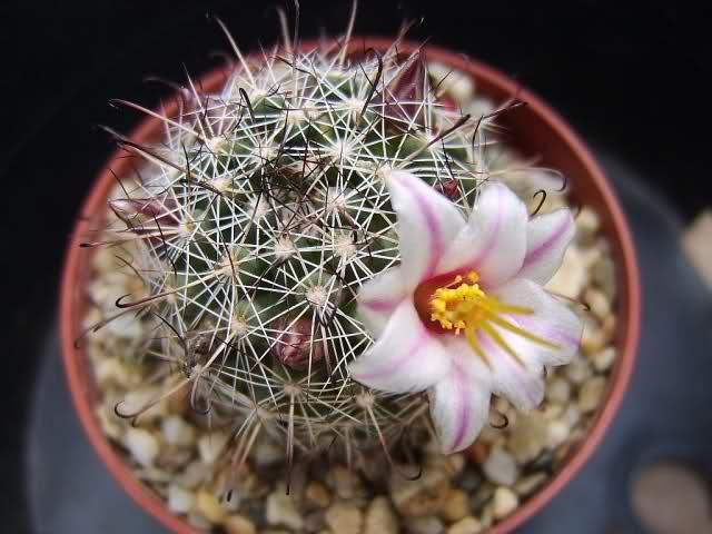 Mammillaria goodridgei 2ex7q1g