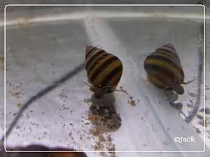Naticoides Taia ( rare ) 2z6dylc