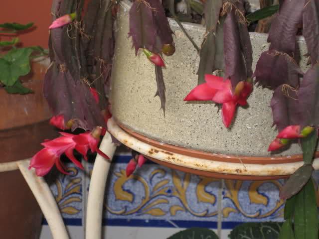 Cactus de Pascua, Cactus de Navidad, Pluma Sta Teresa y similares..... 59ycld