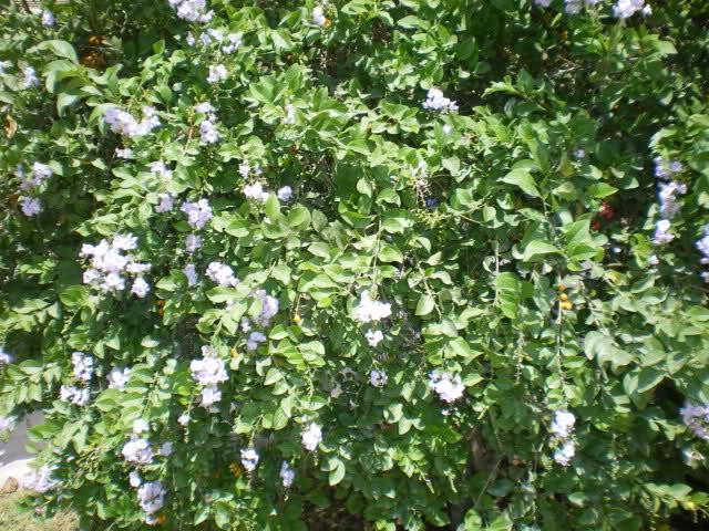 Florecitas azules, bayas naranja ¿quién soy? Dylu9h