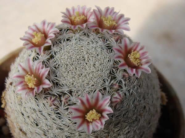 Mammillaria schrottii Wu1pbc