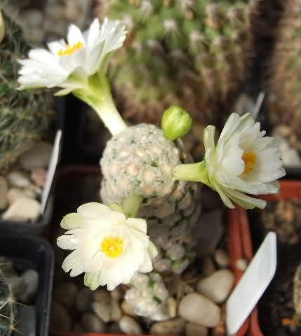 Mammillaria theresae (white flower) 206249t
