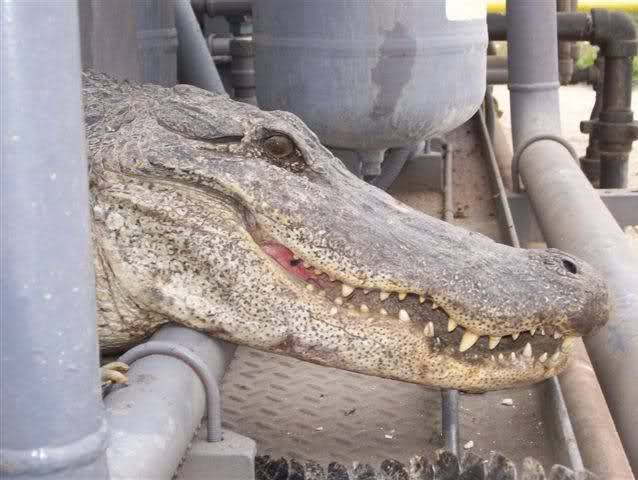 العثور على تمساح بحيرة الأربعين Ofcbxv