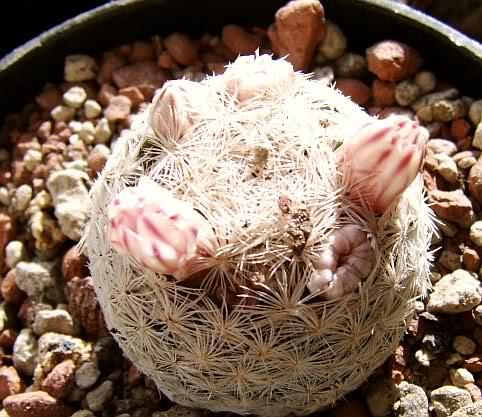 Mammillaria schrottii 118oftk