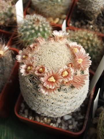 Magallanii or lasiacantha?? 29o6gid