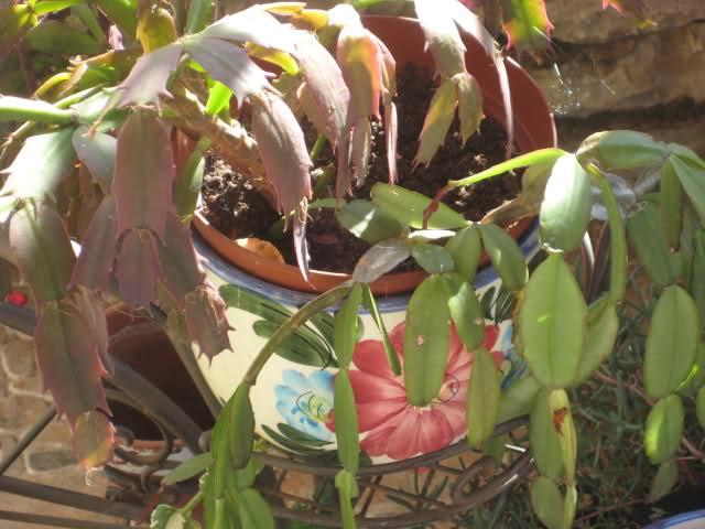 Cactus de Pascua, Cactus de Navidad, Pluma Sta Teresa y similares..... 4qfpm1