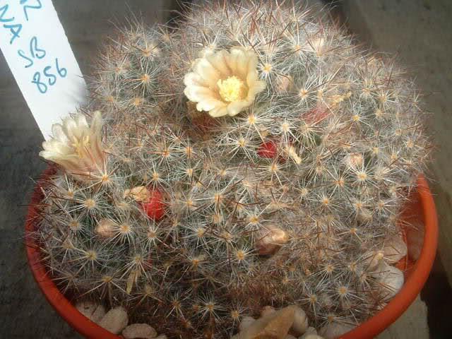 Mammillaria prolifera ssp texana Binn6