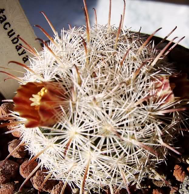 mammillaria stella-de-tacubaya 2cendwh
