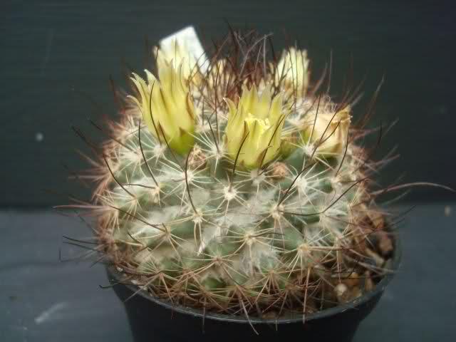 Mammillaria lewisiana 2rhabeh