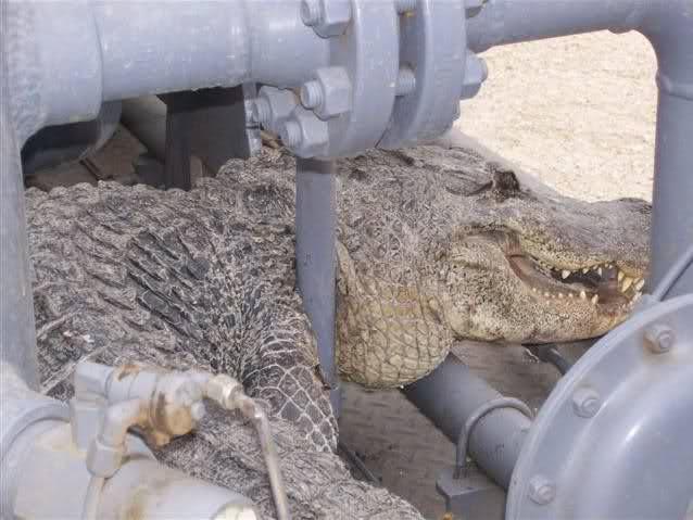العثور على تمساح بحيرة الأربعين 73ebz8