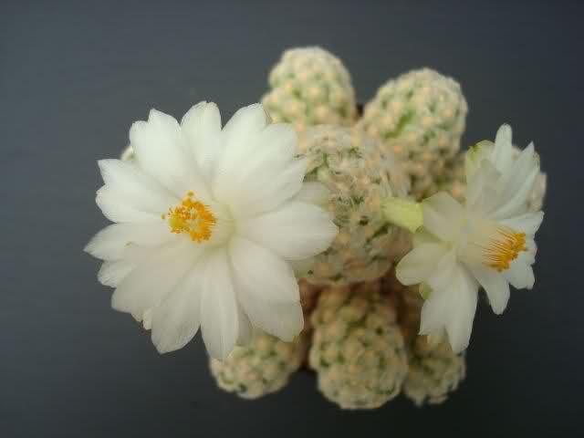 Mammillaria theresae (white flower) B5o3gk