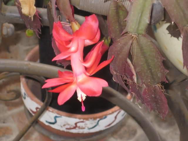 Cactus de Pascua, Cactus de Navidad, Pluma Sta Teresa y similares..... 14bncdj