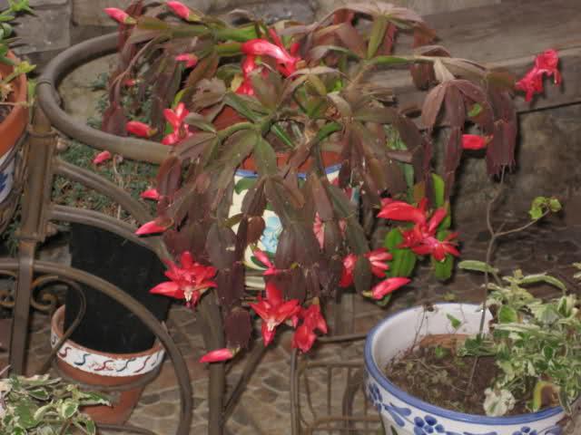 Cactus de Pascua, Cactus de Navidad, Pluma Sta Teresa y similares..... 2v8lvyw