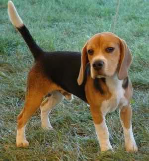 Bigl(Beagle) 33w9lx1