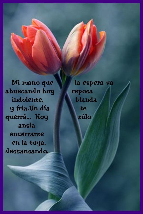 ¡¡¡¡Un tulipan para ti cada dia!!! 4fvarl