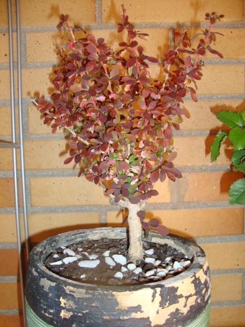 Bonsai con espinas J7q2j8
