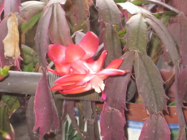 Cactus de Pascua, Cactus de Navidad, Pluma Sta Teresa y similares..... 10mmxc9