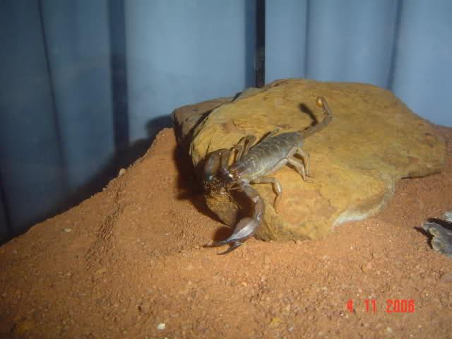 Flinders Range Desert Scorpion native to Australia ( Urodacus Elongatus ) MY NAW BABY!! 1z2j3v9