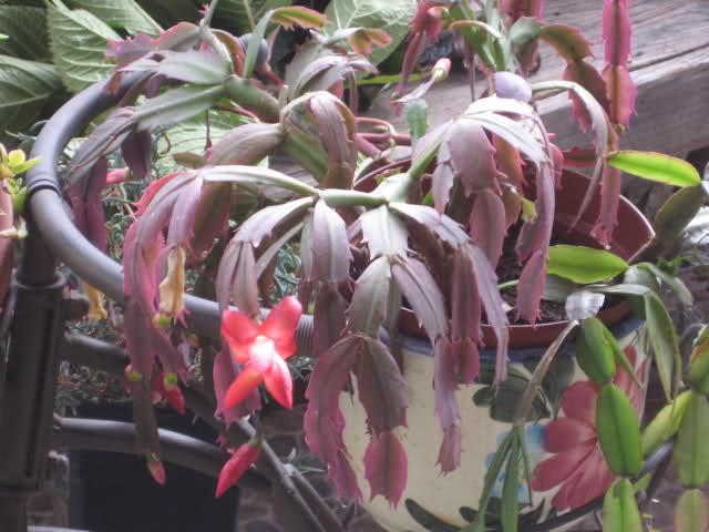 Cactus de Pascua, Cactus de Navidad, Pluma Sta Teresa y similares..... 20p6gx0