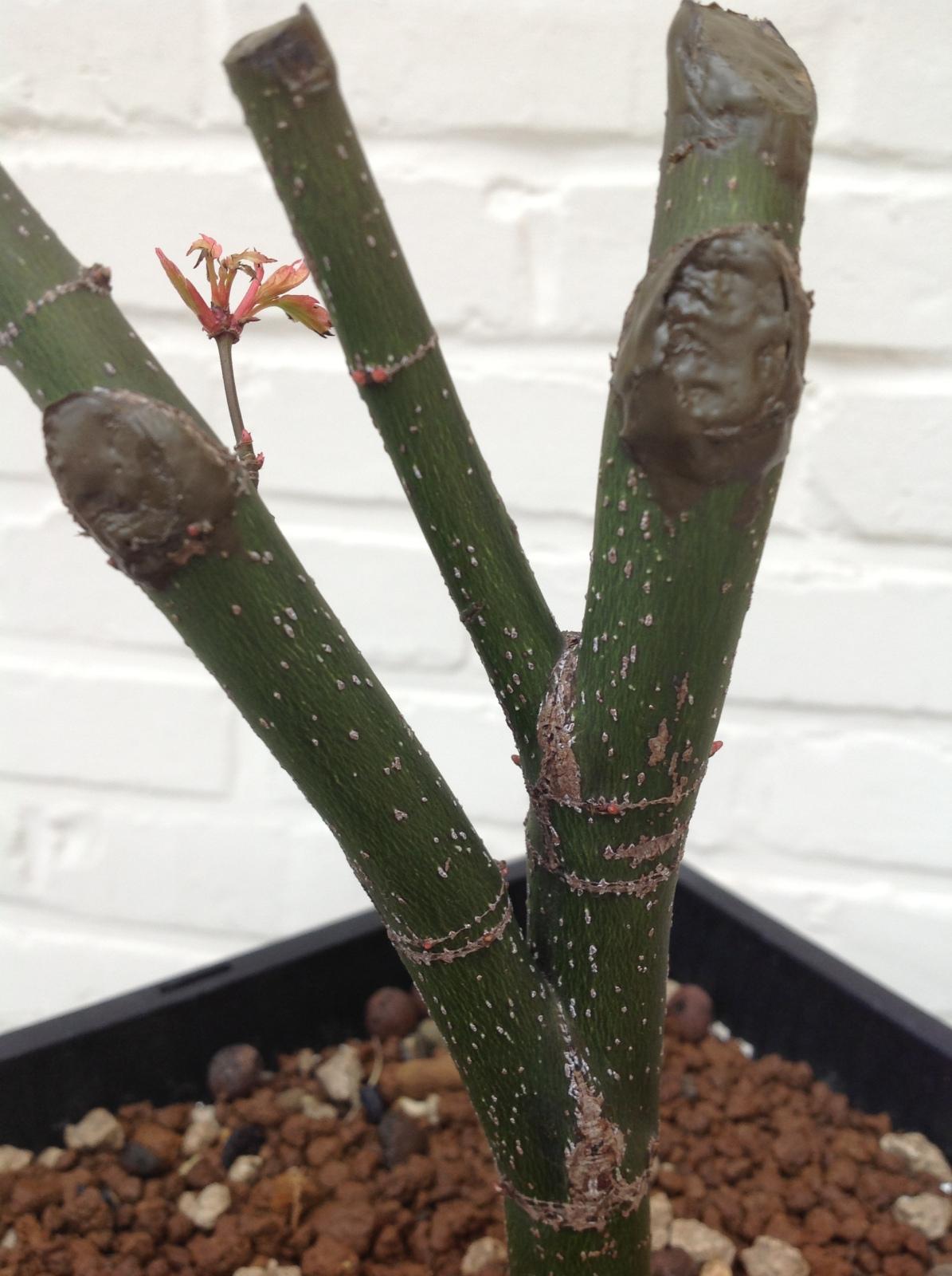 a. palmatum orange dream 10xecg9
