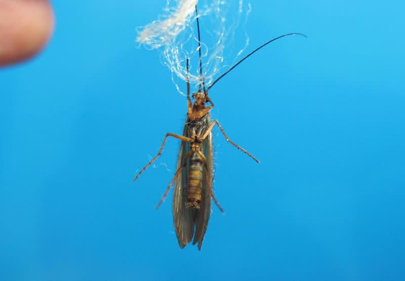 TULARAŠI - Trichoptera (kameni cvetovi, sedž) 23lm8lx