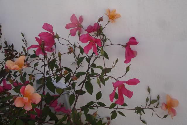 Tipos de Rosas Silvestres Eg4700