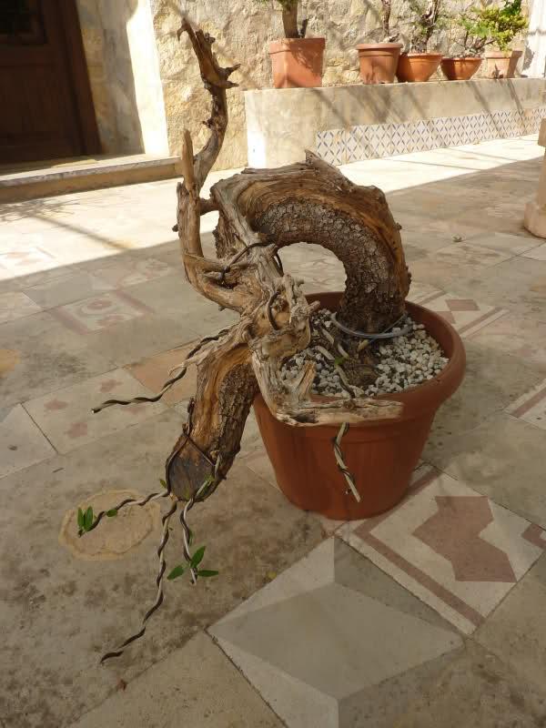 algunos de pre-bonsai - Página 2 19xnyb