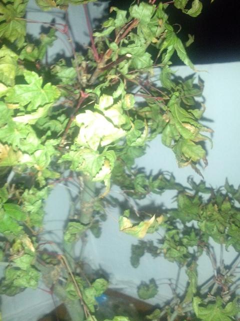 Acer deshojo con hojas secas, arrugadas. ¿Ayuda que hago? 10p11xc