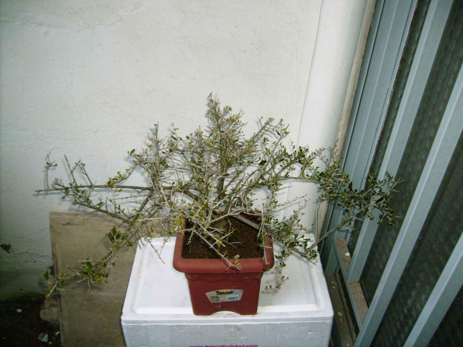 Olivo recuperado 28jvbpc