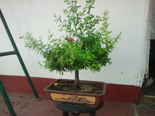 Venta de varios árboles no comerciales, ficus, olmos, higuera, granados, arce burgeriano, y morera. 29mpuu1