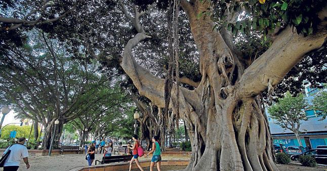 Ficus impresionante en Cartagena 2j4818w