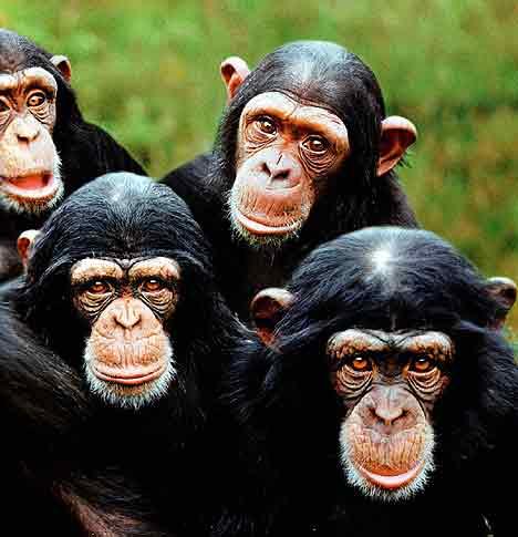 Uso Selectivo de Herramientas, algunas Multiuso,  en Chimpancés 314xxy8