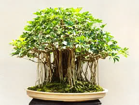 Cuidados carbonero,Schefflera actinophylla, Cheflera o chiflera.(Saman) Kbq3oh