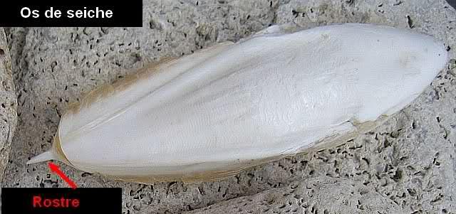 [résolu]Belosaepia sepioidea (de Blainville, 1825) Muctxj