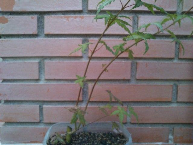 a. palmatum orange dream Nez5uh