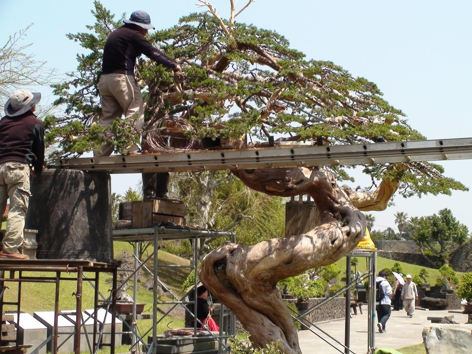 Como alambrar un bonsai  R6xzl3