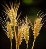 Tipos de harina (de trigo) Rhvn7s