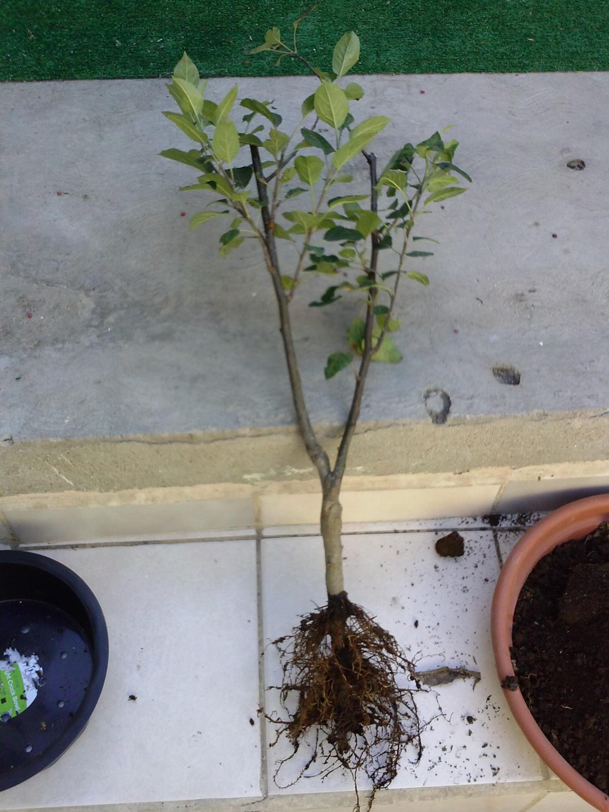 Evolucion de un manzano de vivero. Preciosidad. 15yu6i9