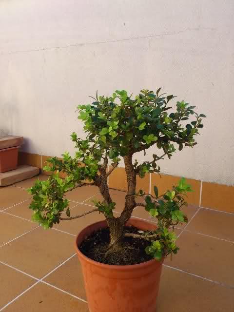 Trasplante Buxus Microphylla 2im6c1t