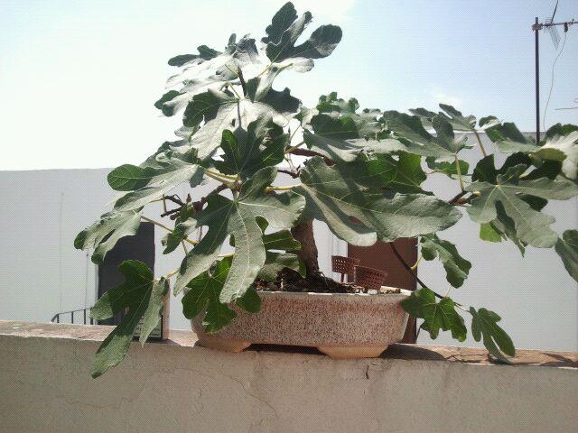 Venta de varios árboles no comerciales, ficus, olmos, higuera, granados, arce burgeriano, y morera. 2j0y4rb