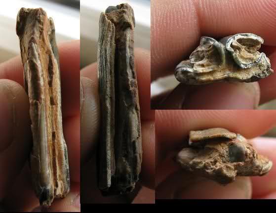 Dents fossiles 2l8zpk0