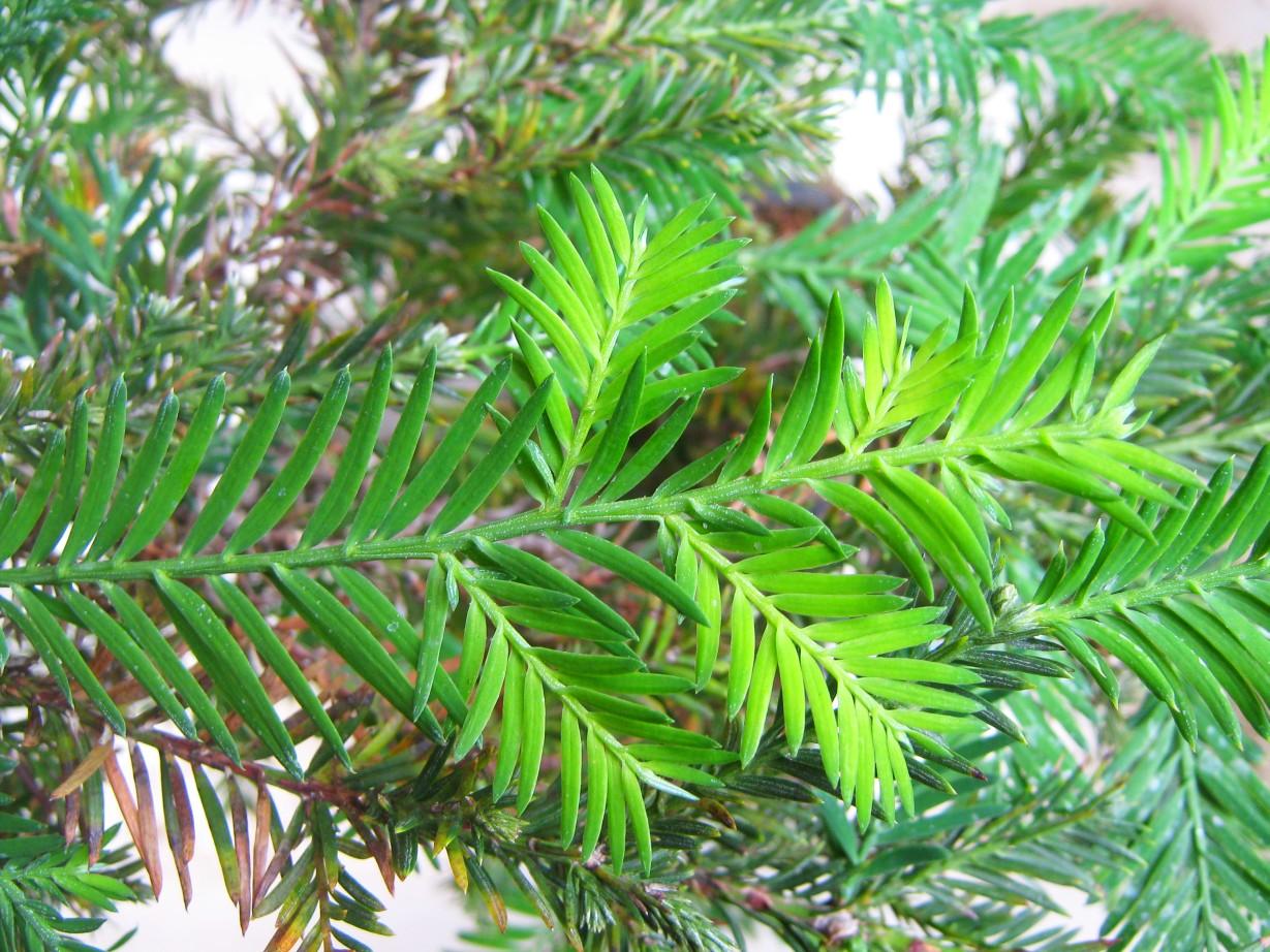 Secuoya - Secoya - Sequoia: 2lvb5s7