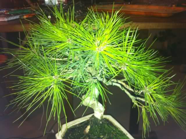 nuevo pino negro japones .thunbergii 4lrqkk