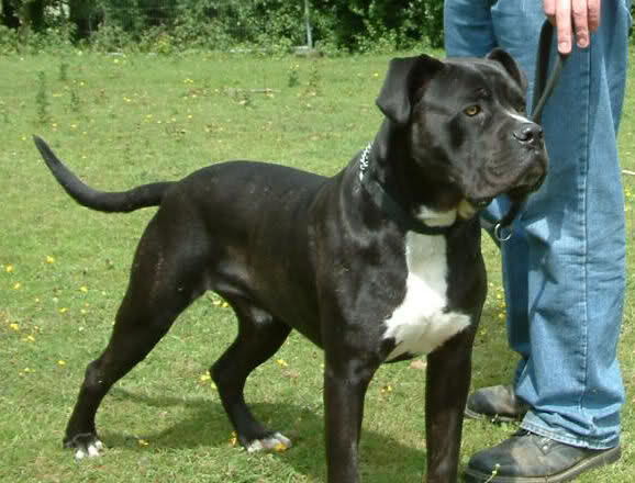 Kane - Male Cane Corso cross - 18 months old - Kent Aoq9lc