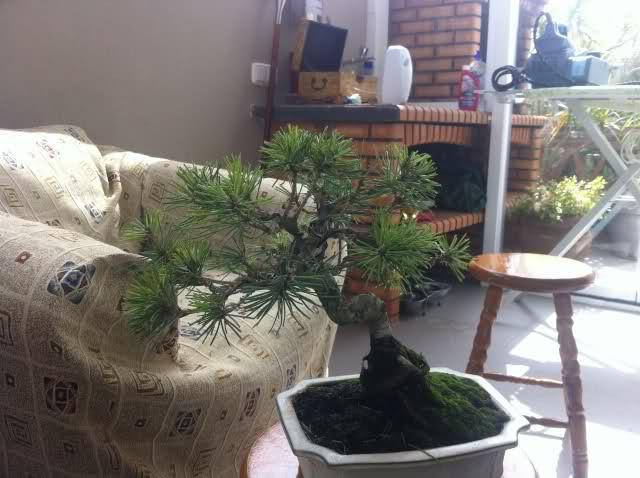nuevo pino negro japones .thunbergii N3kqkh