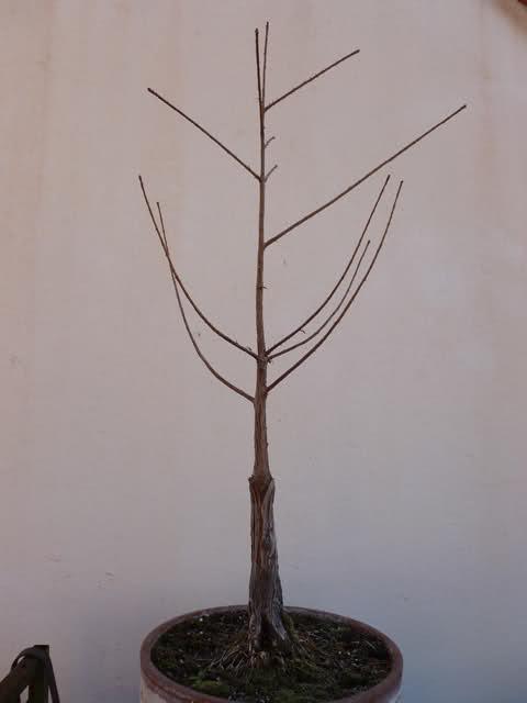 Plantón de Taxodium. Primeros pasitos... Rlc4g5
