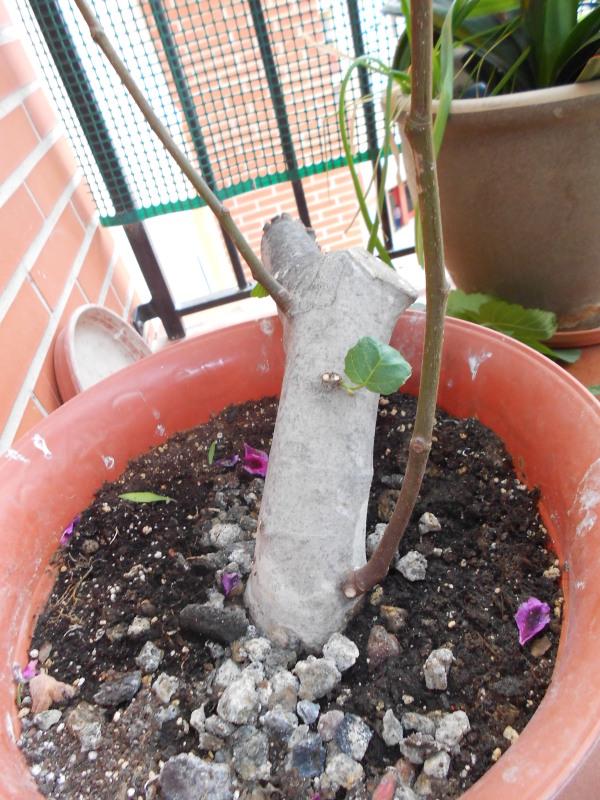 esquejón de higuera ¿sirve para bonsai? V5v0cw