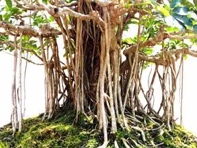 Cuidados carbonero,Schefflera actinophylla, Cheflera o chiflera.(Saman) 1zz140k